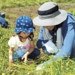 カモミール収穫体験